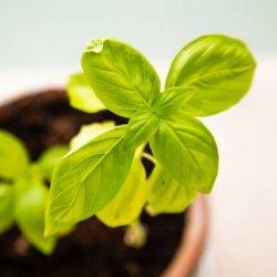 spring planting basil herbs